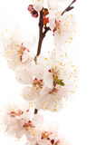 Apricot Blossom Royalty Free Stock Image