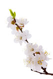 Apricot blossom brunch Royalty Free Stock Photo
