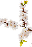Apricot blossom brunch Royalty Free Stock Images