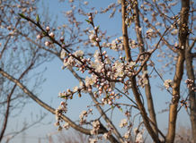 Apricot blossom. Apricot is a famous Chinese ornamental trees, its design and color is red and white, rouge over, flowers numerous pose jiao, as the spring Stock Images