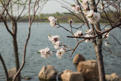 Apricot blossom. Apricot is a famous Chinese ornamental trees, its design and color is red and white, rouge over, flowers numerous pose jiao, as the spring Stock Photography