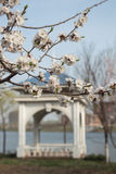 Apricot blossom. Apricot is a famous Chinese ornamental trees, its design and color is red and white, rouge over, flowers numerous pose jiao, as the spring Stock Photos