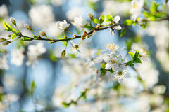 Apricot blossom flowers Royalty Free Stock Photo
