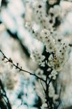 Apricot blossom. Fresh spring backgrund. Apricot tree flower, seasonal floral nature background, shallow depth of field royalty free stock photo