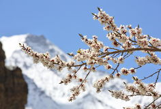 Apricot blossom in Himalayas Royalty Free Stock Image