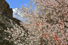 Apricot blossom in Himalayas Stock Image
