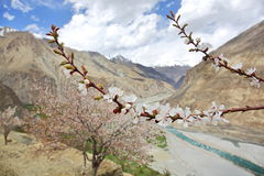 Apricot blossom in Himalayas Stock Images