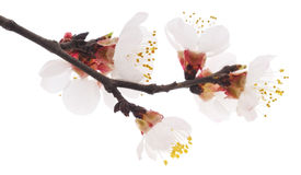 Apricot blossom Royalty Free Stock Photography