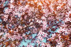 Apricot blossom on a sunny day, the arrival of spring, the blossoming of trees, pink buds on a tree, natural wallpaper.  Stock Photography