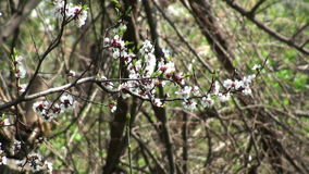 Apricot Blossom stock footage