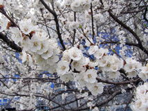 Apricot blossom tree Royalty Free Stock Images