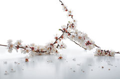 Apricot blossom  on white Stock Image