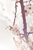 Apricot blossom Royalty Free Stock Images