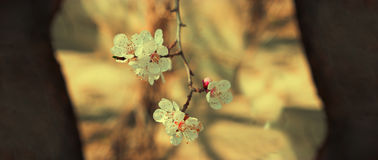 Apricot blossom. White flowers on branch with place for text on both side. S Stock Photo