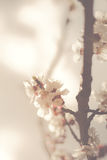 Apricot blossom Stock Images