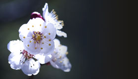 Apricot blossoming Stock Photography