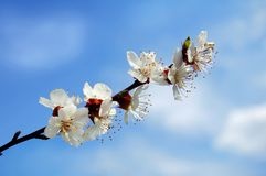 Apricot blossoms against the blue sky. White apricot blossoms against the blue sky Stock Images