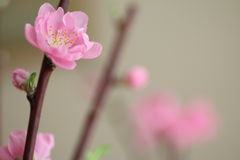 Apricot blossoms. Japanese pink apricot blossoms in spring Stock Photo