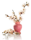 Apricot blossoms in pink vase Stock Photos