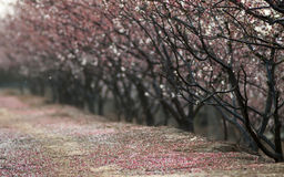 Apricot blossoms Royalty Free Stock Photography