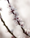 Apricot blossoms Royalty Free Stock Image