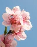 Apricot blosum Stock Photography