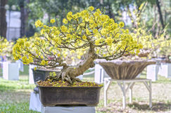 Apricot bonsai tree blooming in spring Stock Image