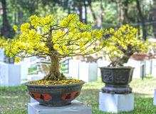 Apricot bonsai tree blooming in spring Royalty Free Stock Photo