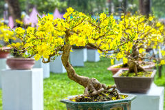 Apricot bonsai tree in spring bloom Stock Images