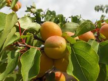 Apricot branch. Branch of orange apricot Stock Image