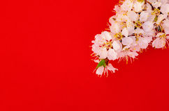 Apricot branch with blossom Royalty Free Stock Photo