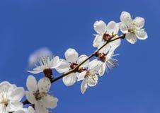 Apricot branch Stock Photos