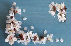 Apricot branch with flowers Stock Images