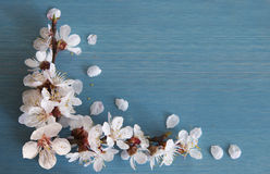 Apricot branch with flowers Royalty Free Stock Image