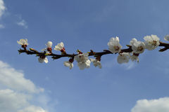 Apricot branch with flowers Stock Photo