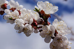 Apricot branch with flowers. On sky background stock photos
