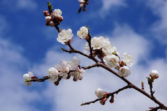 The apricot branch with flowers. Apricot branch with flowers on sky background stock photos
