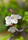 Apricot branch with flowers. Spring mood.  Lovely season. Wake Royalty Free Stock Image