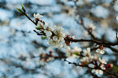 Apricot branch with flowers and young leaves Royalty Free Stock Image