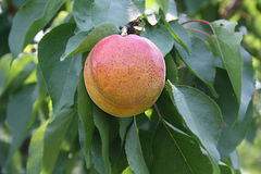 Apricot on branch Royalty Free Stock Images