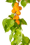 Apricot branch on a light background Stock Images