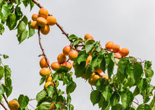 Apricot branch Royalty Free Stock Photography