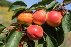 Apricot Branch With Ripe Fruits. Closeup image of apricot branch with ripe fruits on it royalty free stock photography