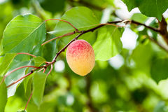 Apricot on a branch Stock Image