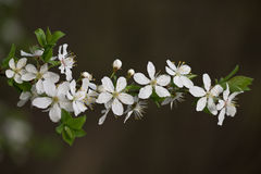 Apricot branch  with white flowers Stock Images