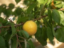 Apricot branch with yellow apricot in private fruit grove. Wet green leaves and yellow apricot. Summer garden, close up. Drops of rain on leaves and fruit stock photo