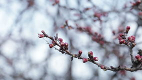 Apricot buds blue. Apricot buds against the blue morning sky stock video footage