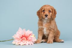Free Apricot Cavapoo Puppy With A Pink Flower Stock Image - 112550881