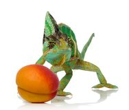 Apricot and chameleon. Chameleon and apricot over white background Stock Image