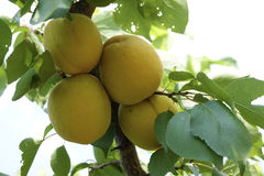 Apricot. The close-up of mellow fruits of apricot on branch Royalty Free Stock Photo
